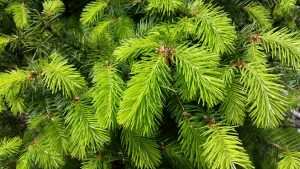 Fresh Fir Tips